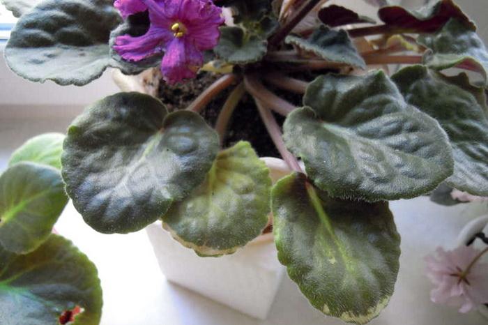 Как помочь фиалке у которой желтеют листья/Блог обычной женщины