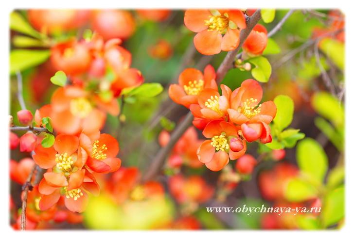 Айва в цвету/Блог обычной женщины