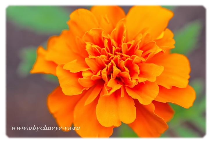 Бархатцы цветут/Блог обычной женщины