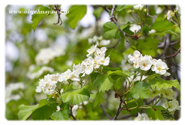 Боярышник цветет/Блог обычной женщины