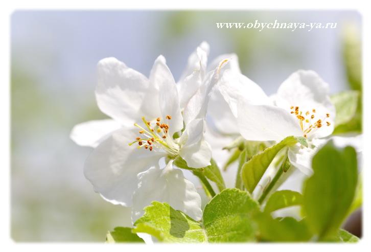 Яблони в цвету/Блог обычной женщины