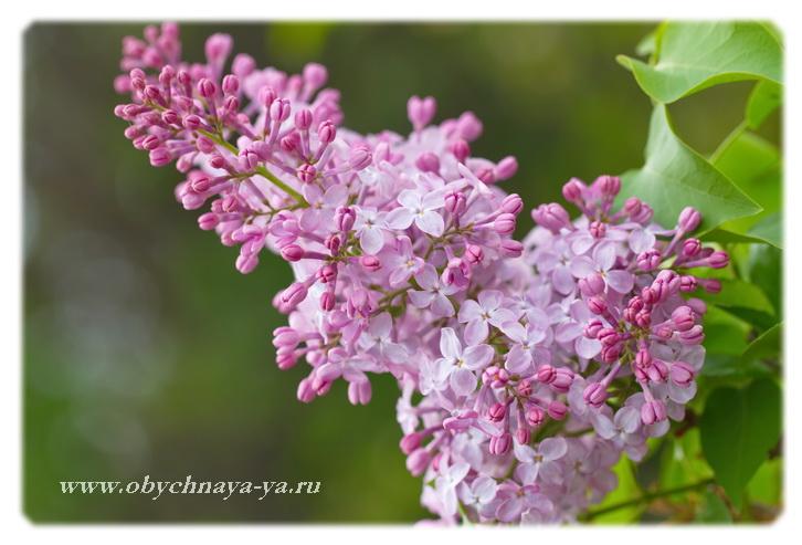 Сирень цветет/Блог обычной женщины