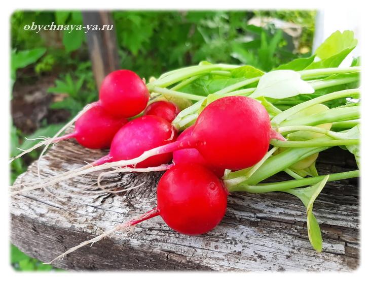 Урожай редиски/Блог обычной женщины