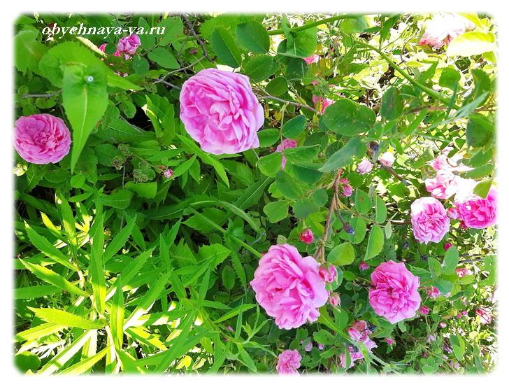 Розы цветут/Блог обычной женщины
