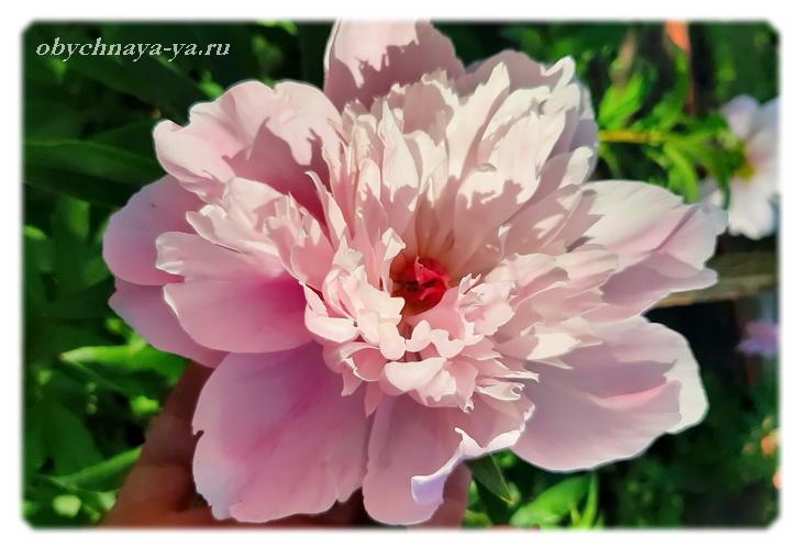 Пионы цветут/Блог обычной женщины